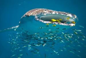 Das Ningaloo-Riff verzaubert mit seinen majestätischen Walhaien (© Luxury Lodges of Australia)