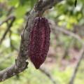 Daraus wird die leckere ecuadorianische Schokolade hergestellt