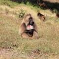 Blutbrustpavian im Simien-Nationalpark