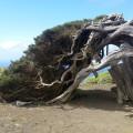 El Hierro: vom Winde gepeitschter Lorbeerbaum