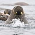 Walrosse © Elke Lindner