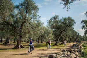 Der Stolz Apuliens: jahrhundertealte Olivenhaine