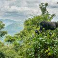 Freie Sicht auf Berggorillas – im Bwindi-Nationalpark kann dieser Traum wahr werden