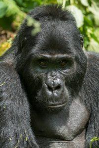 Auf Tuchfühlung mit den Silberrücken im Bwindi-Nationalpark