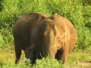 Elefanten begegnen wir im Udawalawe-Nationalpark