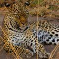 Mit etwas Glück kann man im Queen-Elisabeth-Nationalpark sogar Leoparden beobachten!