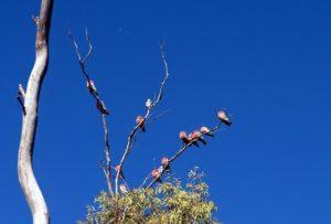 Gesprächig: Rosa-Kakadus in den Wipfeln der Eukalyptusbäume