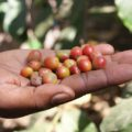 Spannende Einblicke in den Kaffeeanbau am Mt. Meru