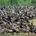 Die berühmte Migration der Gnus in der Serengeti