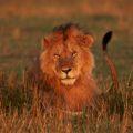 Auf der Reise können Sie mit etwas Glück alle Big Five sichten, darunter auch Löwen!