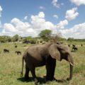 Eine der größten Elefantenpopulationen Ostafrikas lebt im Tarangire-Nationalpark