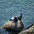 Possierliche Baikalbewohner: Seerobben