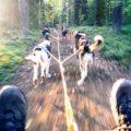 Huskytraining mit hoher Geschwindigkeit