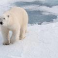 Der König auf Spitzbergen – mit viel Glück zu sehen