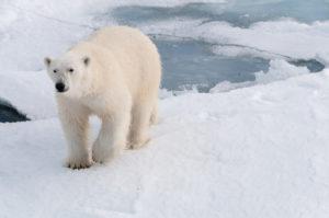 Spitzbergen Reisen - Eisbär