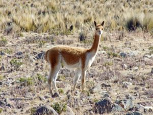 """Mit Glück sieht man Vicunjas, die nicht domestizierten """"Lamas"""" mit besonders feiner Wolle"""