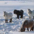 Jakutische Pferde sind an den harten Winter gewöhnt