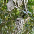 Ein kleiner Kolibri beim Brüten