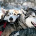 Bevor Sie auf den Hundeschlitten steigen, wird Ihnen selbstverständlich alles erklärt und das Husky-Team vorgestellt