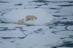 (Bedrohter) König der Arktis