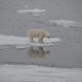 Eisbär - der König der Arktis