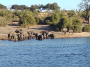 Bootstour im Chobe-Nationalpark: Beobachtung der Elefanten beim täglichen Bad