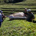 Während Ihrer Reise besuchen Sie die einzige Teeplantage Europas