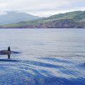 27 Arten Wale und Delfine leben in den Gewässern vor den Azoren