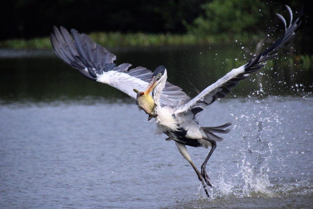 Erfolgreicher Reiher im Pantanal