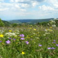 Die Bergwiesenblüte, am besten zu genießen Ende Mai bzw. Anfang Juni