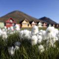 Äußerst selten und dekorativ - arktisches Wollgras