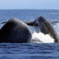 Eine Walbeobachtung am Hotspot Pico oder vor Sao Miguel darf bei einer Azoren-Reise nicht fehlen.