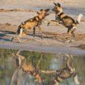 In Botswana lassen sich auch sehr seltene Tiere wie Wildhunde beobachten