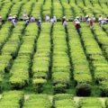 Auf Sao Miguel besuchen Sie die einzige Teeplantage Europas