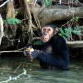 Die Schimpansen kommen bis ans Ufer und lassen sich beobachten