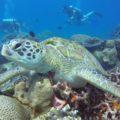 Wasserschildkröte auf Flores