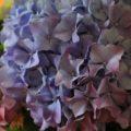 Farbenfrohe Hortensie