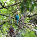 Quetzalweibchen