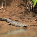 Krokodil bei Sierpe, Costa Rica