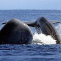Vor den Azoren leben über 20 Wal- und Delfinarten, die Sie mit etwas Glück bei einer optionalen Bootsausfahrt beobachten können.