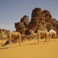 Unterwegs mit Kamelen in Südalgerien