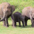 Elefanten im Udawalawe-NP