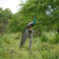 Pfau-Schönheit im Udawalawe-NP auf Sri Lanka