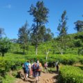 Wandern am Little Adams Peak durch Teeplantagen