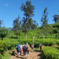 Wandern am Little Adams Peak durch Teeplantagen